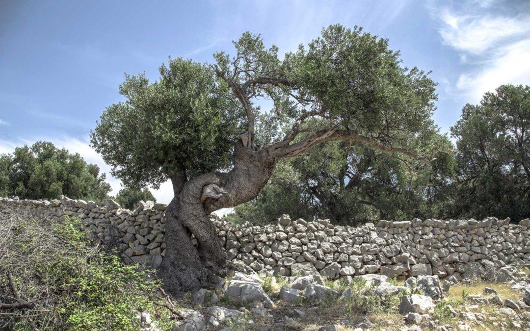 La pianta dell'olivo